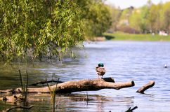 A wild duck is sitting on a branch by lake. Nice colors and blur. A wild duck is sitting on a branch by the lake. Nice colors and blur Stock Photography