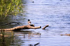 A wild duck is sitting on a branch by lake. Nice colors and blur. A wild duck is sitting on a branch by the lake. Nice colors and blur Royalty Free Stock Photos