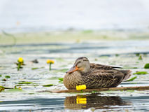 Wild duck Royalty Free Stock Photography