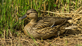 Wild duck sitting in the grass observing the others Stock Photos