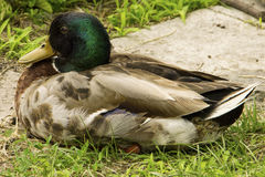 Wild duck sitting on the ground Royalty Free Stock Photography