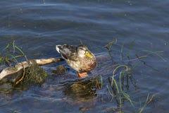 Wild duck sitting on rocks Stock Photos