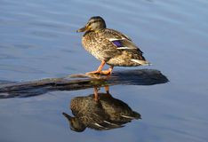 Wild duck sitting in the water. Lying on a log Stock Photography