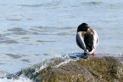 Wild duck. Stock Photo