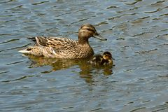 Kachna divoká Anas platyrhynchos with a young duck royalty free stock image