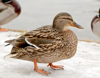 Wild duck on the snow. Near the lake shore Stock Image