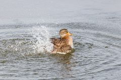 Wild duck splashing in the lake on a sunny autumn day Stock Photography