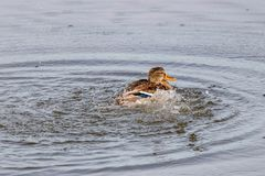 Wild duck splashing in the lake on a sunny autumn day Royalty Free Stock Images