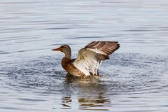 Wild duck splashing in the lake on a sunny autumn day Royalty Free Stock Photo