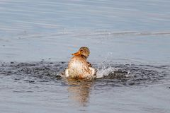 Wild duck splashing in the lake on a sunny autumn day Stock Photo