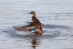 Wild duck splashing in the lake on a sunny autumn day Stock Image