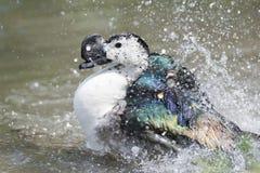 Wild Duck while splashing on water Stock Image
