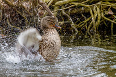 Wild duck splashing in the water near the shore. Image of a wild duck splashing in the water near the shore Stock Photography