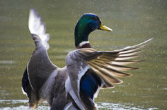 Wild duck spreading wings Stock Photos