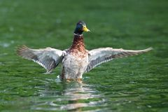 Wild duck spreading wings Royalty Free Stock Image