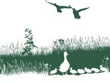 Wild duck spring Stock Photos
