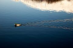 Wild duck in St. Moritz, Switzerland. Stock Photos