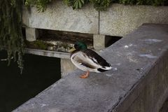 Wild duck stand on one leg on a pontoon. Image Stock Photos