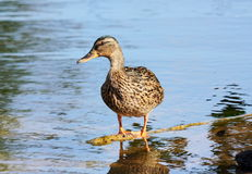 Wild duck standing on a branch of a tree in water. Against glint Stock Photo