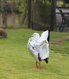 Wild duck standing in field Royalty Free Stock Photo