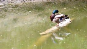 Wild duck stock video