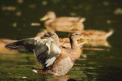 Wild duck start to fly on the pond. Stock Photography