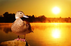 Wild duck on the stone at sunset Royalty Free Stock Photography