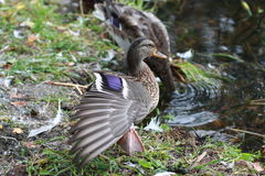 Duck streching. Wild duck is streching before diving Stock Photos
