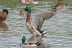 Wild duck stretches its wings. Male wild duck (Anas platyrhynchos) stretches its wings Stock Photos