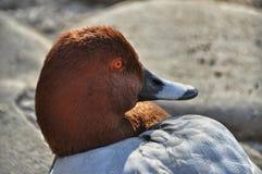 Wild duck sunbathing Royalty Free Stock Photo