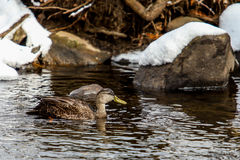 Wild duck swiming in cold water in winter time. Wild duck swiming in cold river water in winter time with snow Royalty Free Stock Images