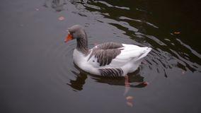 Wild duck swimming cheerfully in lake waters on a sunny day