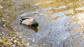 Wild duck swimming stock video