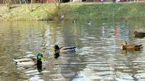 Wild duck swimming stock video footage