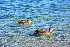 Wild duck swimming Royalty Free Stock Photos