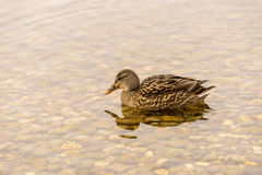 Wild Duck Swimming in the Lake. One Wild Duck Swimming in the Lake Royalty Free Stock Images