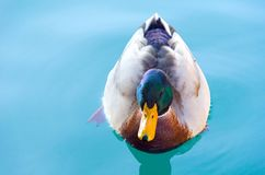 Male mallard in the plumage is swimming in Lake Garda in Italy. A closeup against a turquoise background royalty free stock image