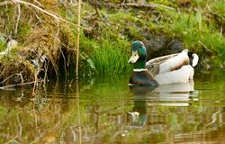 Wild duck swimming in lake. Wild duck male mallard swimming in a lake in big forest Royalty Free Stock Photo