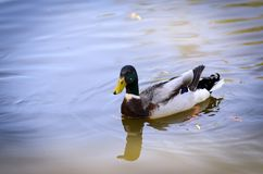 Wild duck is swimming on lake. Nice colors and blur. Wild duck is swimming on the lake. Nice colors and blur Royalty Free Stock Images