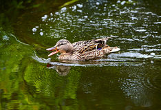 Wild duck swimming. The mallard swimming and eating water plants and small animals Royalty Free Stock Image