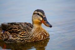 Wild duck swimming Stock Photo