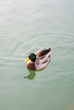 Wild duck swimming on the pond. A wild duck swimming on the pond Stock Photo