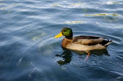 Wild duck swimming on pond. Royalty Free Stock Images