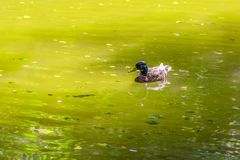 Wild duck swimming in a pond. Sunny scenery showing a mallard swimming in a lake at summer time Stock Image