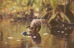 Wild duck swimming in pond Royalty Free Stock Image