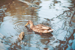 Wild duck swimming in pond Stock Image