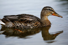Wild duck swimming in pond stock photos