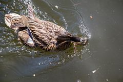 Wild duck swimming in the pond. Wild duck swimming in the waters of the pond Stock Photos