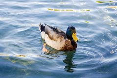 Wild duck swimming on pond. The Mallard or Wild Duck Anas platyrhynchos is a dabbling colored duck which breeds throughout the temperate and subtropical Royalty Free Stock Image