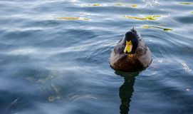 Wild duck swimming on pond. Stock Images